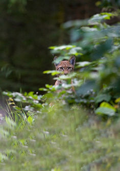 la forêt du lynx Didier Pépin