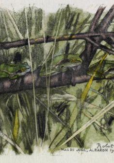 Rainettes vertes sur leur branche Fondation Hainard