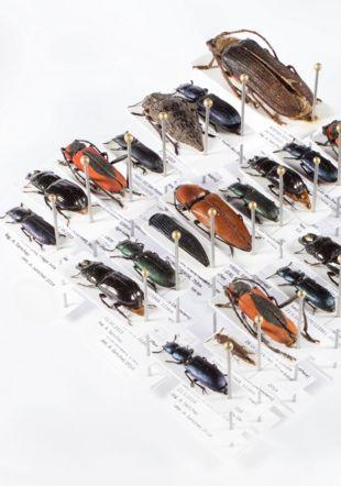 Espèces de coléoptères rares dans les collections muséales suisses