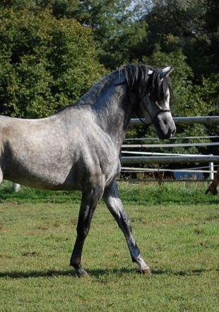 séance d'éthologie avec un jeune cheval musée du cheval