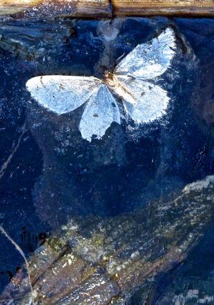 Papillon - Photo - Denis Vautravers